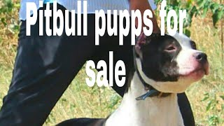 Dog sale delhi dogs sale punjab dogs sale haryana dogs sale Rajasthan dogs sale up pitbull bully