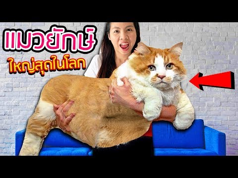 แมวตัวใหญ่ที่สุดในโลก!!! ราคา 300,000 บาท GIANT CAT!! | พี่เฟิร์น 108Life