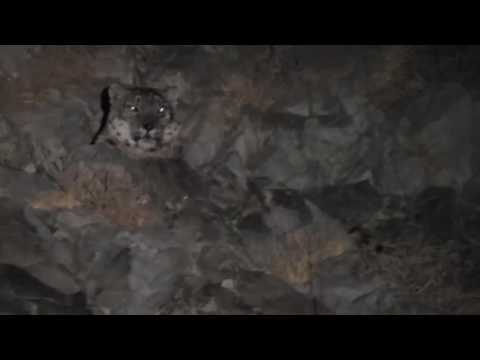 Snow leopard in Mongolia, wwf mongolia