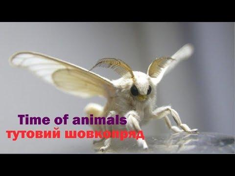 Тутовий шовкопряд (все про метелика)