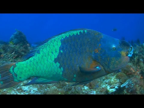 """Bold"" Parrotfish Help Keep Coral Reefs Colorful 