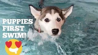 Husky Puppies First Swim!! [CUTEST VIDEO EVER!!!!]