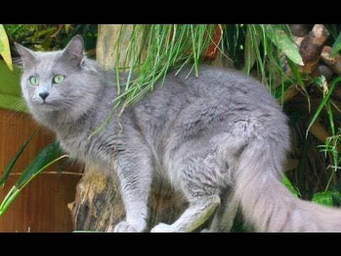 Animal Planet : Cats 101 ~ Nebelung