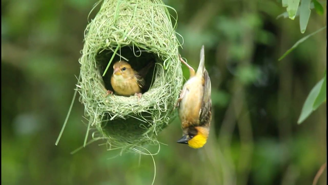 how to make weaver bird nest at home