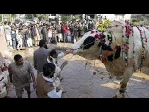 Funny Cow Qurbani   Funny Dangerous Cow Qurbani   Funny Video Clips 2016    Eid Ul Azha 2016