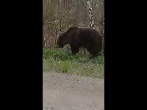 В Вуктыле голодный медведь вышел к людям