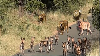 ANIMALS FIGHT FOR FOOD WITH WILD DOG