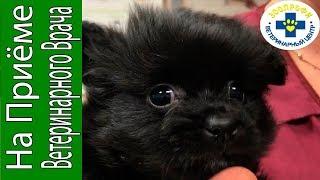 Что Случилось со Щенком? Гипогликемическая Кома у Собак Мелких Пород