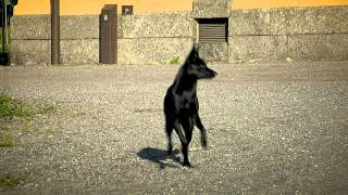 Agnes on the run (Australian Kelpie)