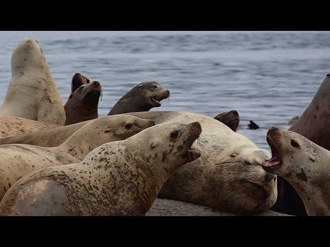 Lost Sea Lion - California vs Steller
