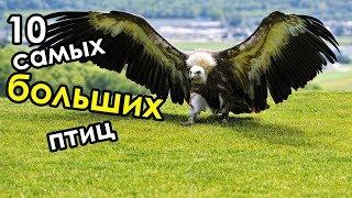 Птица весом в 200кг? Топ - 10 самых огромных птиц в мире | Самые большие птицы на планете