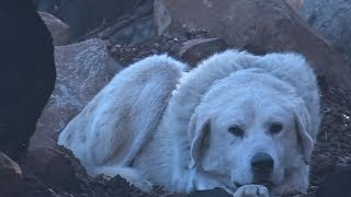 Dog loyally guards destroyed home after Camp Fire tears through Paradise