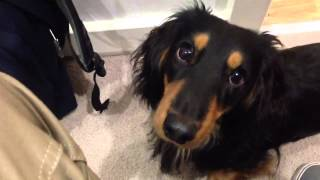 Long Haired Dachshund Wants To Go To The Park