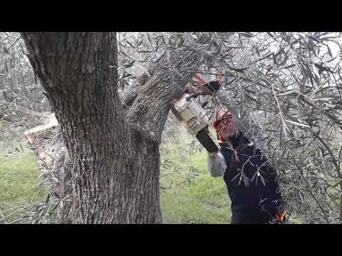 PODA OLIVO JAÉN ALCAUDETE VÍDEO 13