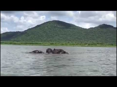 Elephants swimming in the Shire River