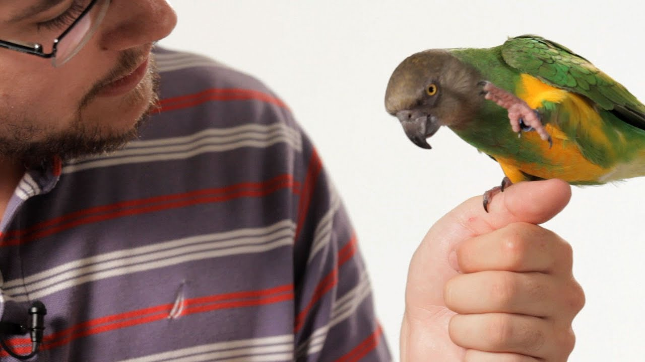 What Is A Parrot?