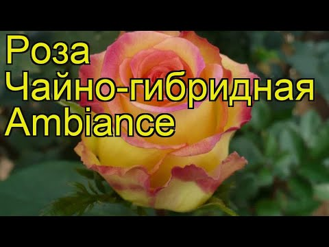 Вопрос: Роза Абракадабра. Какие особенности сорта Какие условия выращивания?