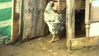 Pareja en Reproducción (Gallo y Gallina)