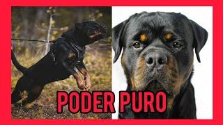El poder del Rottweiler