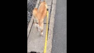 お散歩中のお尻と尻尾が好き過ぎてひたすら自分の趣味に走った動画です.