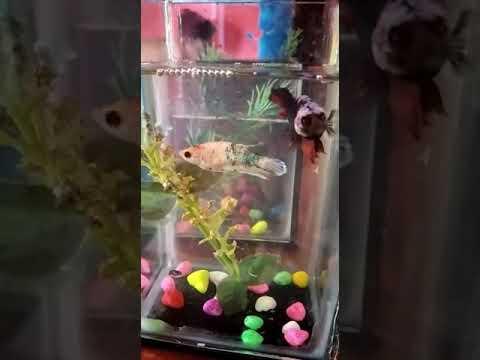 proses kawin ikan cupang - YouTube