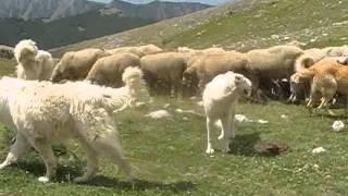 Celano - Abruzzo - LINDA del Turkmeno contro gli attacchi dei lupi . thumbnail