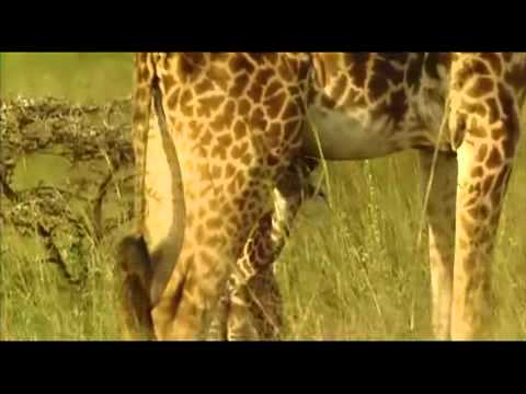 Hươu cao cổ bảo vệ hươu cao cổ con