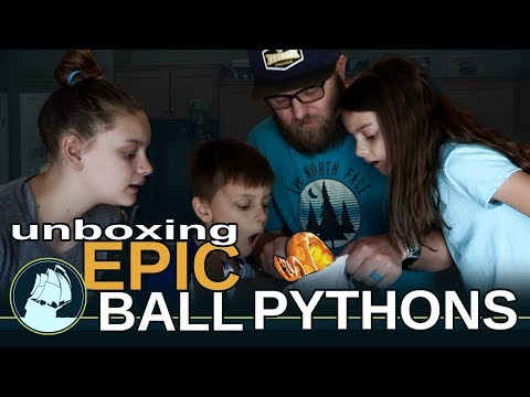 EPIC ball python UNBOXING! bit by a snake!
