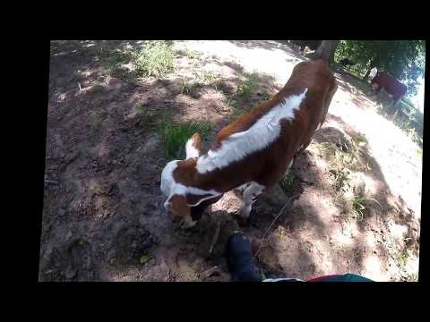 Riding at the brazos river and little cow rescue