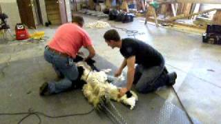 Challenger, a Suri Alpaca gets sheared