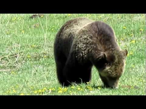 Yellowstone National Park Grizzly Bear in Gibbon Meadows