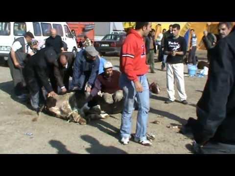Kurban Kesimi KKB  Sacrifice is cut following the girl. butcher slaughtering.