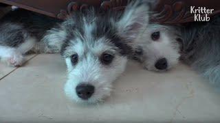 Hustese? Maltsky? See The Unreal 'HuskyMaltese Mix Puppies' (Part 2) | Kritter Klub
