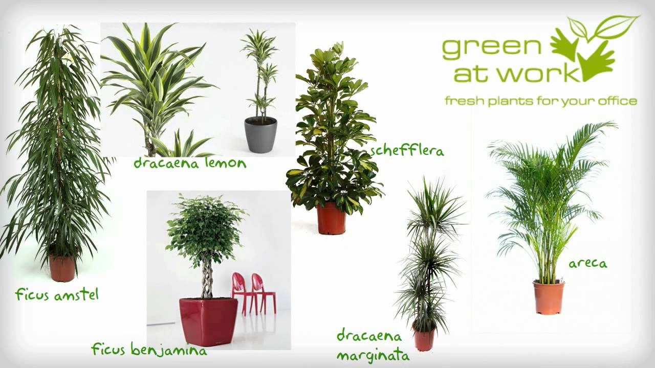 Plante decorative la birou greenatwork youtube for Plante decorative exterieure