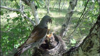 ДРОЗДЫ кормят птенцов. Птенцы Дрозда и их пища.