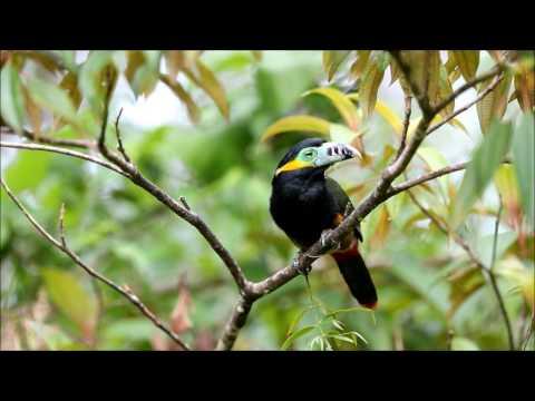 Spot-billed Toucanet - araçari-poca - Selenidera maculirostris