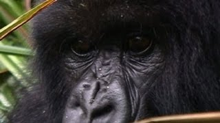 Great apes on brink of extinction