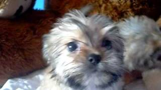 www.pricelesspups.net Shorkie puppies for sale from The Shorkie Club Of America