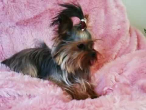Tiny teacup full grown yorkshire terrier girl! - YouTube