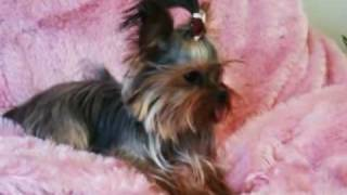 Tiny teacup full grown yorkshire terrier girl!
