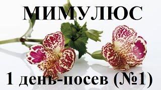 Выращивание Мимулюса из семян и посадка в открытый грунт (фото и видео инструкция)