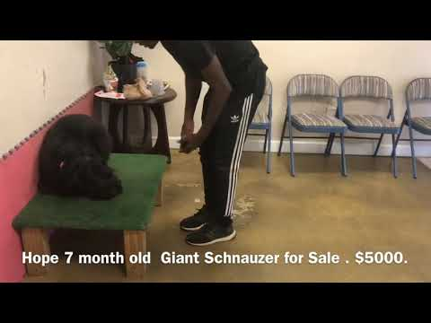 Giant Schnauzer Female 7months - for Sale