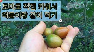 토마토 키우기. 그리고 수확해서 애들이랑 시식