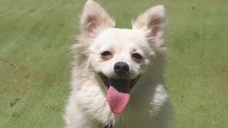 Pomeranian Spitz Eğitimi ! İstanbul Köpek Eğitimi (Köpek Eğitim Merkezi)
