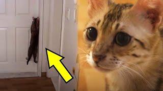 Кошка повисла на дверной ручке и изо всех сил пыталась попасть в другую комнату. И вот почему.