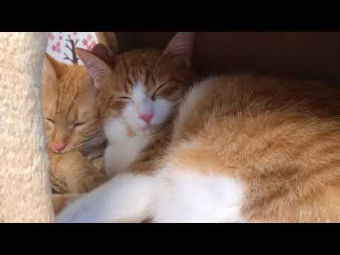 寝顔がそっくりな猫 Cat looking like a sleeping face 『保護猫るる らら物語』