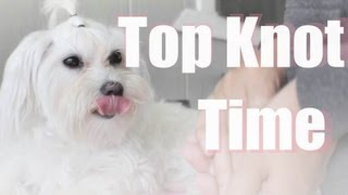 Top Knot Time On Maltese Dog