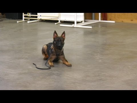 Super Star Personal Protection Dog For Sale 'Zach' 6 Mo's Obedience Control Demo