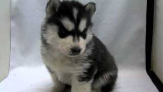 シベリアンハスキー子犬!!<子犬の利根RS>