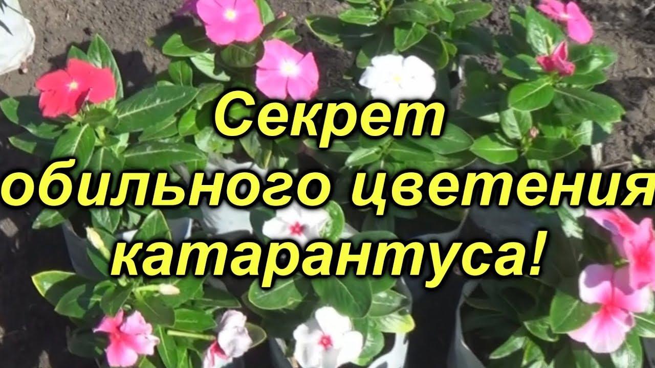 Секреты обильного цветения катарантуса- это нужно сделать уже сейчас!!!